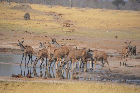 greater kudu Hwange