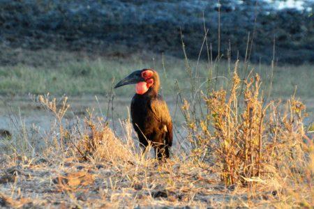 Ground hornbill Matusadona