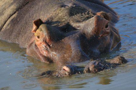 Hippopotamus in Timbavati