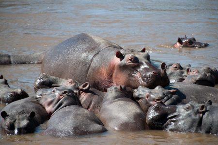 Hippos Maasai Mara