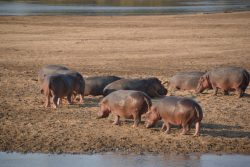 Safari Club Photos - Hippos on beach South Luangwa