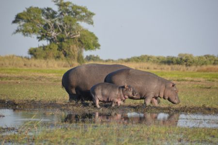 Hippos with baby Kafue