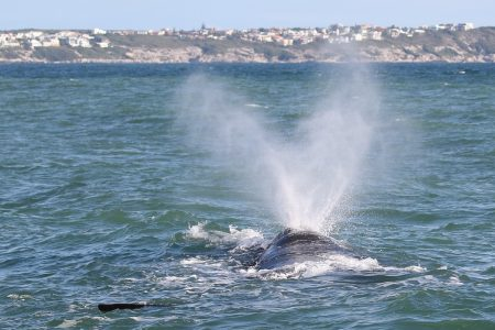 Humpback whale off South Africa