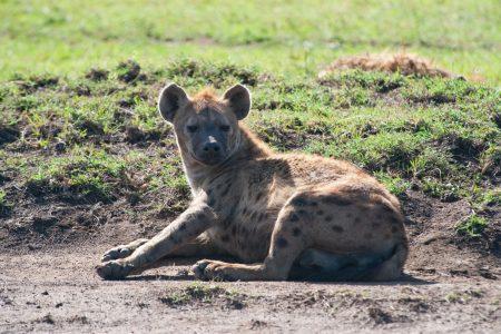 Hyena in the Maasai Mara