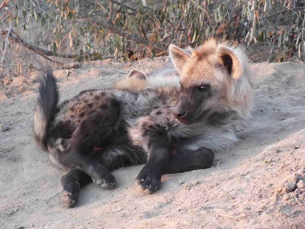 Hyena pup Limpopo