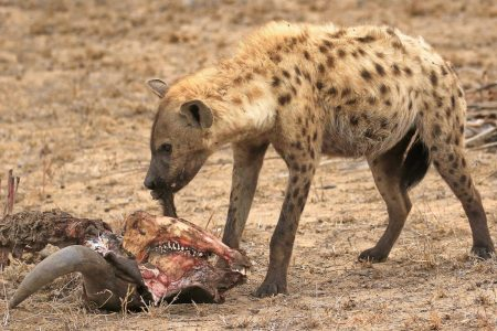 Hyena snacking Timbavati