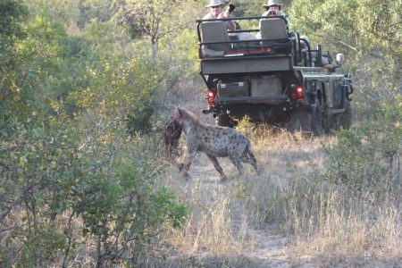 Hyena snatch Limpopo