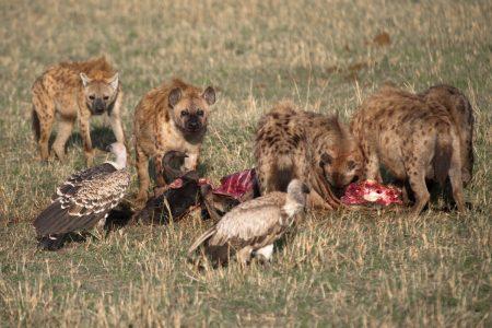 Hyenas and vultures feeding Maasai Mara