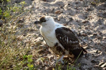 Immature fish eagle Chobe River