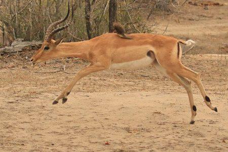 Impala buck Timbavati