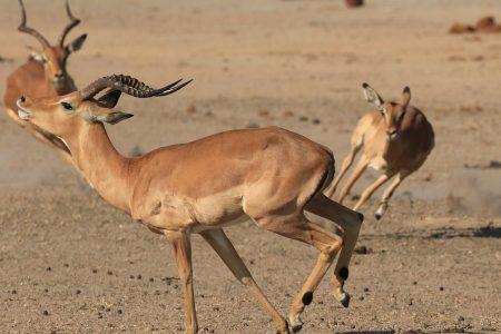 Impala chasing Timbavati