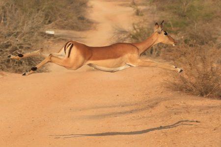 Impala doe Timbavati