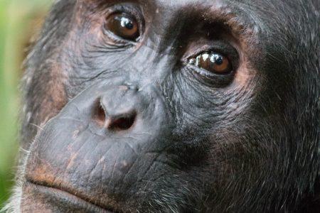 Kibale chimpanzee face