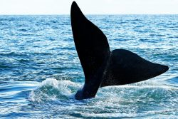 Safari Club - Killer whale (orca) waving tail