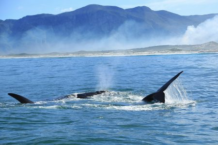 Killer whales (orcas) off Western Cape