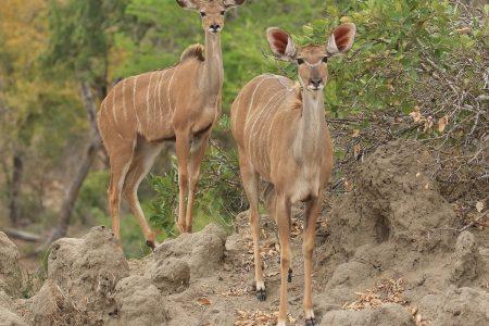 Kudu does Timbavati