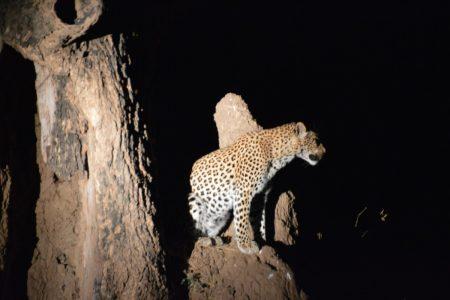 Leopard at night Lower Zambezi