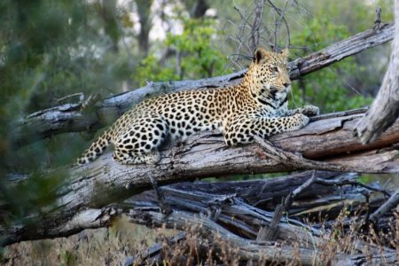 Safari Club Tours - Leopard in Khwai Reserve