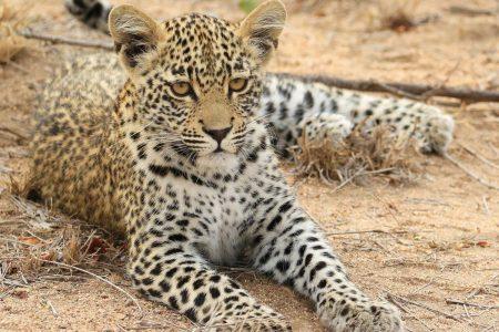 Leopard in repose Timbavati