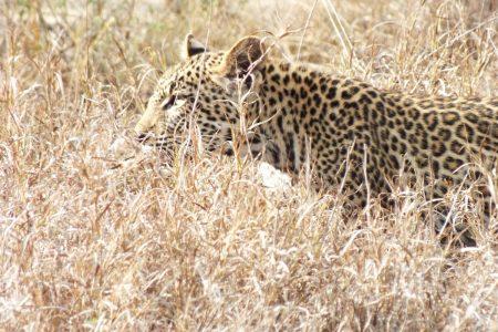 Leopard in stalk-mode Limpopo
