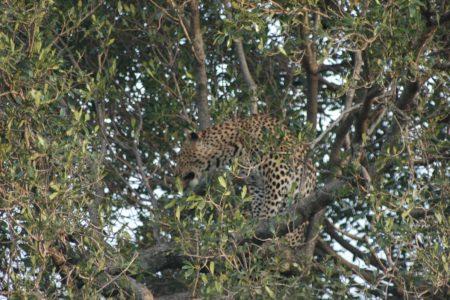 Leopard – Maasai Mara
