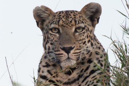leopard Limpopo