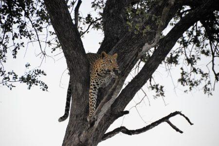 Leopard near Machaba Camp