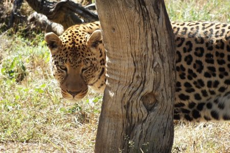 Leopard of Namibia