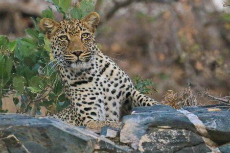Leopard on the rocks Timbavati