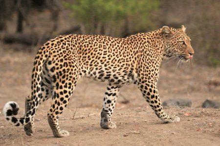 Leopard walking Timbavati