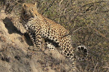 Leopard watching Timbavati