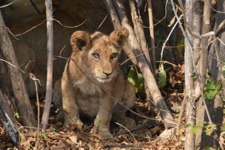 Lion cub South Luangwa