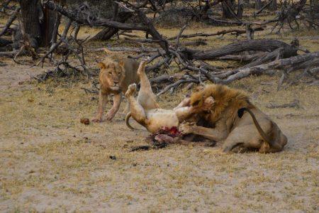 lion fighting over dinner Hwange