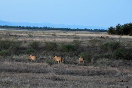 Lion hunting Matusadonna