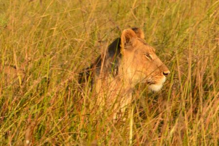 Lion hunting Okavango Delta