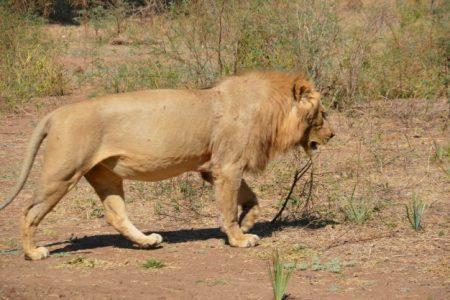 Lion in Lower Zambezi