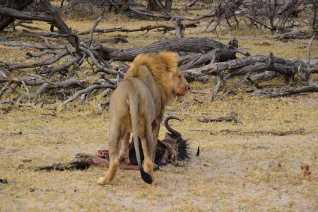Lion king of the beasts Hwange