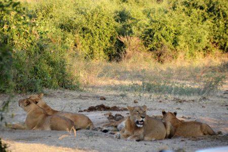 Lion pride Chobe floodplain