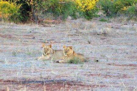 Lion pride Matusadona National Park