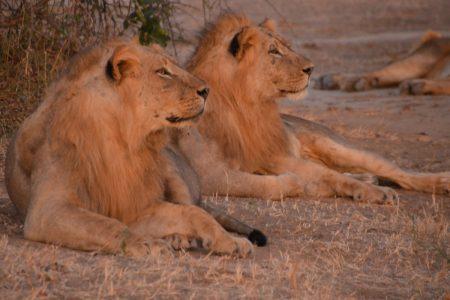 Lion - Whats going on? Lower Zambezi