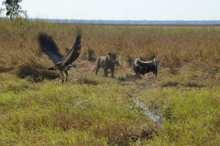 Lioness chasing vultures Kafue