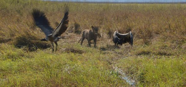 Safari Club - Lioness chasing vultures Kafue