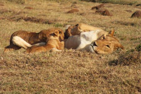 lioness nursing cubs