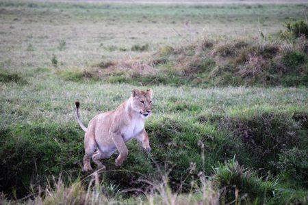 Lioness pouncing Maasai Mara