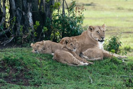 Lioness with cubs in the Maasai Mara