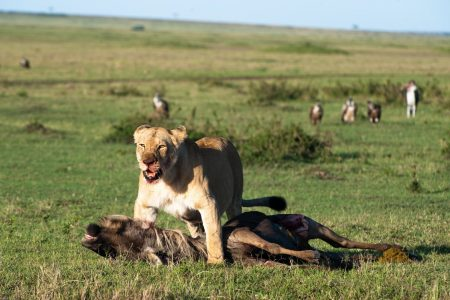 Lioness with kill in the Maasai Mara