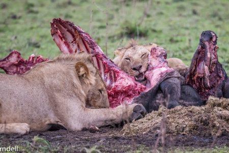Lions feeding in the Serengeti