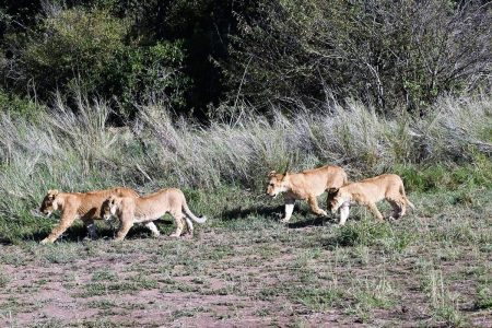 Lions hunting Maasai Mara