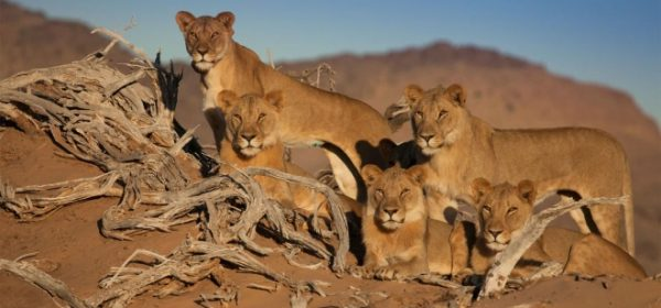 Safari Club - Lions in Namibia