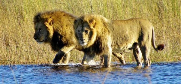 Safari Club - Lions in Okavango Delta